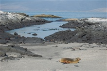 Sea lion, marine iguanas, and sally lightfoot crabs co-existing on the beachat Punta Espinosa.