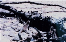 Marine iguanas confronted with an impediment to travel