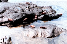 Sally Lightfoot crabs scrambling over the rocks
