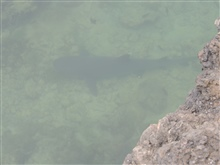 A white-tip shark seen in a narrow channel coming from the sea.