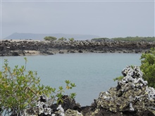 With volcanoes in the background, the green mangroves, blue waters, black aaand white lichen makes for a very picturesque lagoon at Las Tintoreras.