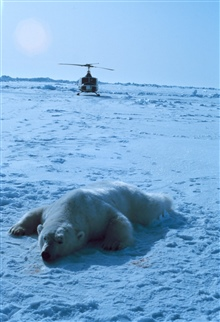 Sedated polar bear with NOAA Bell UH-1M.