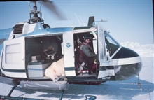 Relocating a sedated bear on NOAA Bell UH-1M.