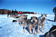 A fine team of sled dogs at Tigvariak Island