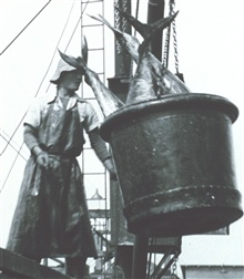 A 500-lb bucket of yellow-fin tuna being swung off a vessel to a receivingtrough for further processing.  F&WL; 12,575.