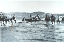 Hauling in beach seine  from the Columbia River by horse teams.  F&WL; 12,496.