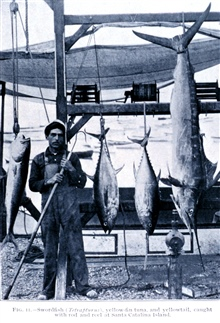 Swordfish (Tetrapturus), yellowfin tuna, and yellowtail, caught with rod andreel at Santa Catalina Island.In: Sport Fishing in California and Florida,  by Charles F. Holder.Bulletin of the Bureau of Fisheries, Vol. XXVIII 1908, Part I, p. 207, Plate
