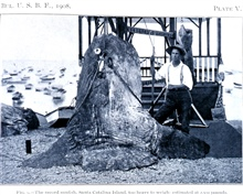 The record sunfish, Santa Catalina Island, too heavy to weigh; estimated at2,500 pounds.In: Sport Fishing in California and Florida,  by Charles F. Holder.Bulletin of the Bureau of Fisheries, Vol. XXVIII 1908, Part I, p. 207, Plate V.