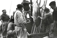 Tuna caught by pole and line method on the Bay of Biscay.