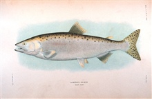 Humpback salmon, adult male.  In:  The Fishes of Alaska.Bulletin of the Bureau of Fisheries, Vol. XXVI, 1906.  P. 360, Plate XXIII.