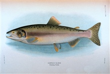 Humpback salmon, breeding female.  In:  The Fishes of Alaska.Bulletin of the Bureau of Fisheries, Vol. XXVI, 1906.  P. 360, Plate XXVI.