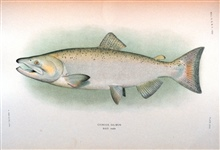 Chinook salmon, adult male.  In:  The Fishes of Alaska.Bulletin of the Bureau of Fisheries, Vol. XXVI, 1906.  P. 360, Plate XXIX.