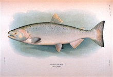 Chinook salmon, adult female.  In:  The Fishes of Alaska.Bulletin of the Bureau of Fisheries, Vol. XXVI, 1906.  P. 360, Plate XXX.