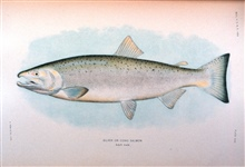 Silver or Coho salmon, adult male.  In:  The Fishes of Alaska.Bulletin of the Bureau of Fisheries, Vol. XXVI, 1906.  P. 360, Plate XXXI.