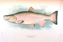 Silver or Coho salmon, breeding male.  In:  The Fishes of Alaska.Bulletin of the Bureau of Fisheries, Vol. XXVI, 1906.  P. 360, Plate XXXII.