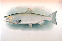 Red salmon, adult male.  In:  The Fishes of Alaska.Bulletin of the Bureau of Fisheries, Vol. XXVI, 1906.  P. 360, Plate XXXIII.