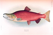 Red salmon, breeding male.  In:  The Fishes of Alaska.Bulletin of the Bureau of Fisheries, Vol. XXVI, 1906.  P. 360, Plate XXXIV.