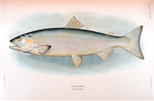 Red salmon, adult female.  In:  The Fishes of Alaska.Bulletin of the Bureau of Fisheries, Vol. XXVI, 1906.  P. 360, Plate XXXV.