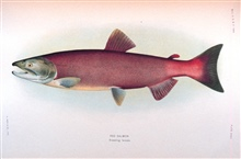 Red salmon, breeding female.  In:  The Fishes of Alaska.Bulletin of the Bureau of Fisheries, Vol. XXVI, 1906.  P. 360, Plate XXXVI.