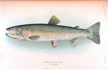 Alaska cutthroat trout.  Adult female.    In:  The Fishes of Alaska.Bulletin of the Bureau of Fisheries, Vol. XXVI, 1906.  P. 360, Plate XXXVII.
