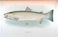 Steelhead trout.  In:  The Fishes of Alaska.Bulletin of the Bureau of Fisheries, Vol. XXVI, 1906.  P. 360, Plate XXXVIII.