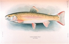 Alaska rainbow trout.  Adult female.    In:  The Fishes of Alaska.Bulletin of the Bureau of Fisheries, Vol. XXVI, 1906.  P. 360, Plate XXXIX.