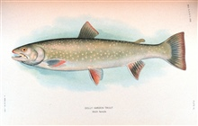 Dolly Varden trout.  Adult female.    In:  The Fishes of Alaska.Bulletin of the Bureau of Fisheries, Vol. XXVI, 1906.  P. 360, Plate XL.