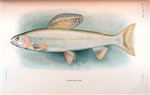 Alaska grayling.  In:  The Fishes of Alaska.Bulletin of the Bureau of Fisheries, Vol. XXVI, 1906.  P. 360, Plate XLI.