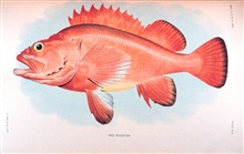 Red rockfish.    In:  The Fishes of Alaska.Bulletin of the Bureau of Fisheries, Vol. XXVI, 1906.  P. 360, Plate XLII.