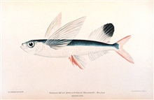 Parexocoetus brachypterus (Solander).  Malolo.In: The Shore Fishes of the Hawaiian Islands, with a General Account of theFish Fauna, by David Starr Jordan and Barton Warren Evermann.Bulletin of the United States Fish Commission, Vol. XXIII, for 1903.