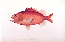 Holotrachys lima (Cuvier and Valenciennes).In: The Shore Fishes of the Hawaiian Islands, with a General Account of theFish Fauna, by David Starr Jordan and Barton Warren Evermann.Bulletin of the United States Fish Commission, Vol. XXIII, for 1903.  P