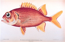 Myripristis chryseres Jordan & Evermann.  Pau'u.In: The Shore Fishes of the Hawaiian Islands, with a General Account of theFish Fauna, by David Starr Jordan and Barton Warren Evermann.Bulletin of the United States Fish Commission, Vol. XXIII, for 190