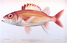 Flammeo scythrops Jordan & Evermann.  Type.In: The Shore Fishes of the Hawaiian Islands, with a General Account of theFish Fauna, by David Starr Jordan and Barton Warren Evermann.Bulletin of the United States Fish Commission, Vol. XXIII, for 1903.  P