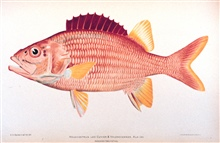 Holocentrus leo Cuvier & Valenciennes.  Ala-ihi.In: The Shore Fishes of the Hawaiian Islands, with a General Account of theFish Fauna, by David Starr Jordan and Barton Warren Evermann.Bulletin of the United States Fish Commission, Vol. XXIII, for 190
