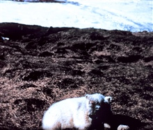 Polar bear - Ursus maritimus - on tundra.