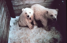 Orphaned polar bear cubs - Ursus maritimus - being sent to zoo.