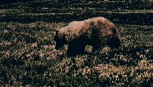 Brown bear (grizzly) - Ursus arctos - on the tundra.
