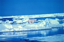 Polar bear - Ursus maritimus - on the Beaufort Sea ice in the summer.