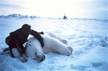 Helicopter pilot Budd Christman with large sedated male polar bear - Ursus maritimus.  Bears were measured and tagged for future study.Outer Continental Shelf Environmental Assessment Program (OCSEAP) studies.