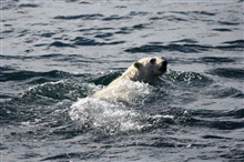 Polar bear swimming.