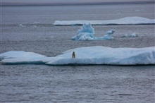 Polar bear on ice floe.
