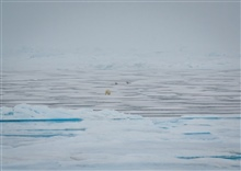 A polar bear attempting to ambush a pair of ribbon seals, which quickly slippedinto the water when the bear got too close.