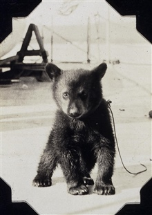 Black bear cub on the SURVEYOR.Made a pet but fell off ship during storm.