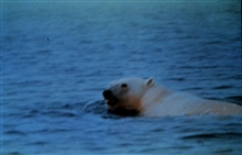 Polar bear swimming in Norwegian Sea.Taken by cooperative observer with Norwegian Hydrographic Office.