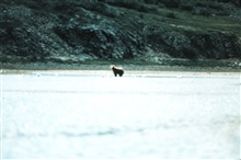Alaska brown bear on tide flats.