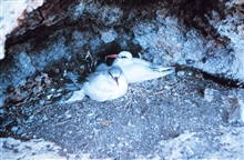 Nesting red-tailed tropic birds.