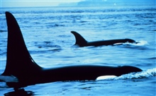 Killer whales -  Orcinus orca - note blow hole in nearest animal.