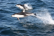 Pacific white-sided dolphin (Lagenorhynchus obliquidens).