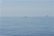 Dolphin leaping with DAVID STARR JORDAN in the distance.