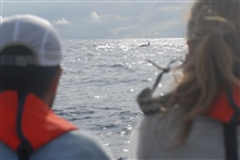 Orca or killer whales seen from boat off DAVID STARR JORDAN.